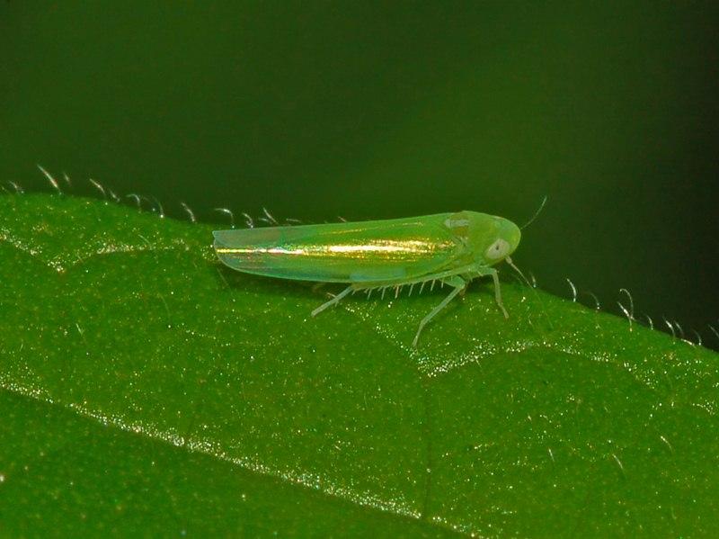 leafhopper tea bush insect